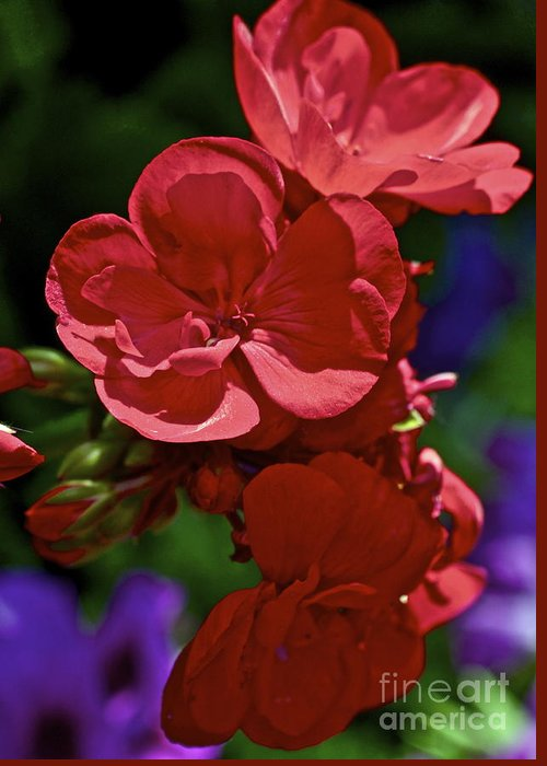 Geranium Greeting Card featuring the photograph The Geraniums by Gwyn Newcombe