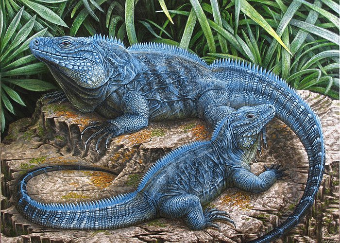 Blue Iguana For Sale : The grand cayman blue iguana greeting card for sale by cara bevan