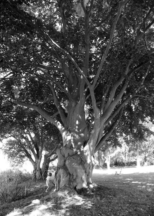 Tree Greeting Card featuring the photograph The Grandmother Tree by Sarah Lamoureux