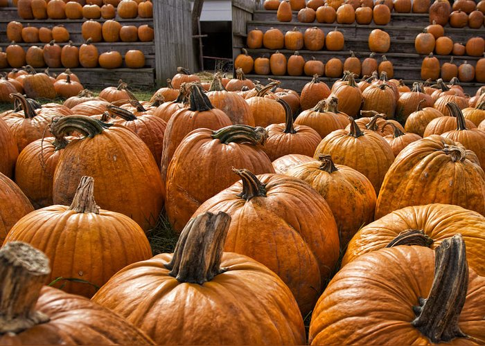Fall Greeting Card featuring the photograph The Great Pumpkin Farm by Peter Chilelli