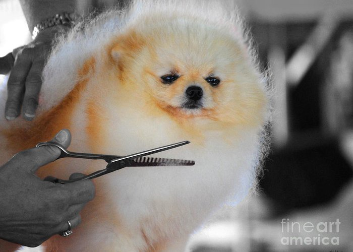 Pomeranian Greeting Card featuring the photograph The Groomer by Jai Johnson