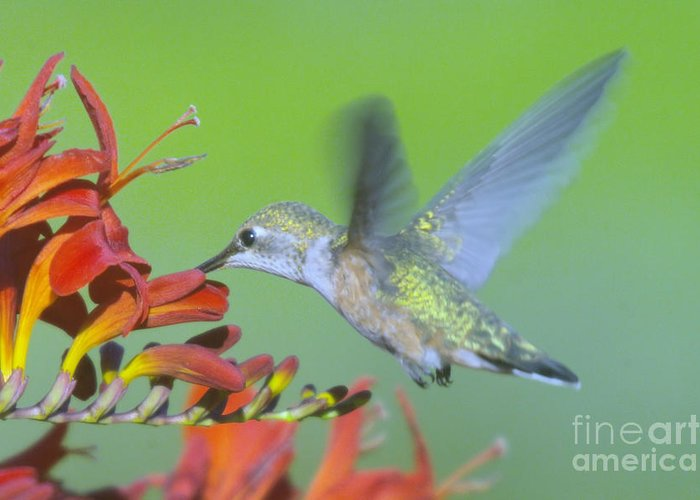 Birds Greeting Card featuring the photograph The Humming Bird Sips by Jeff Swan