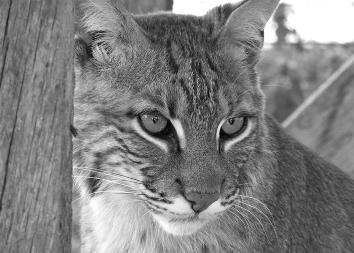 Wildlife Greeting Card featuring the photograph The Hunter Black And White by Jennifer King