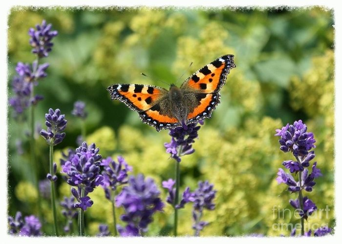 Butterfly On Lavender Greeting Cards