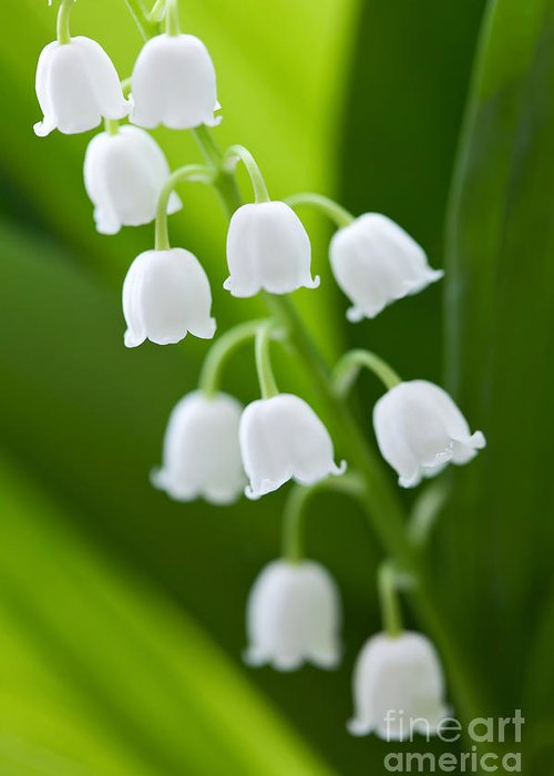 The Greeting Card featuring the photograph The Lily Of The Valley by Boon Mee