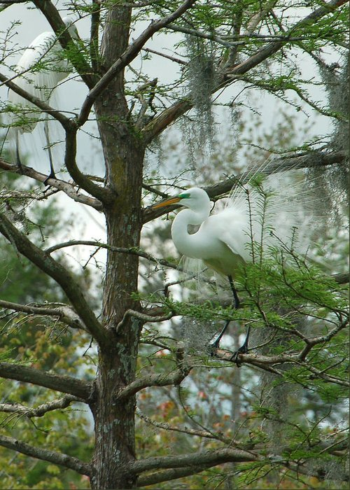 Egret Greeting Card featuring the photograph The Mating Dance by Suzanne Gaff