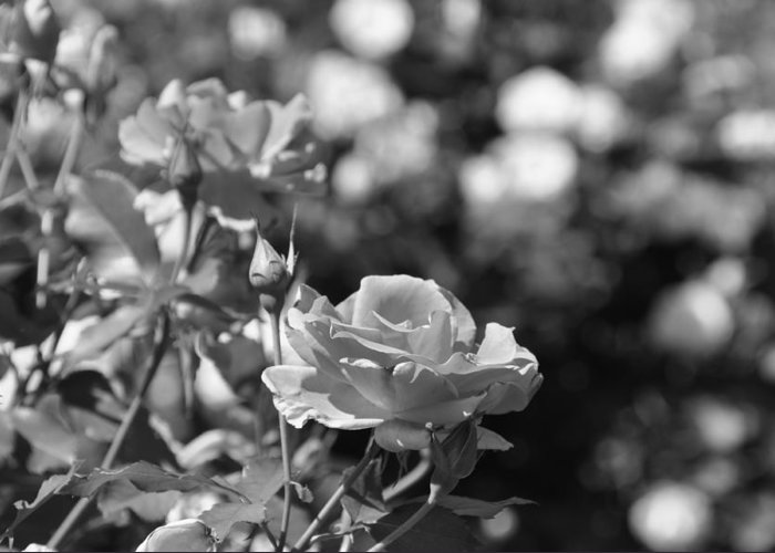 Rose Greeting Card featuring the photograph The One by Rusty Kidder
