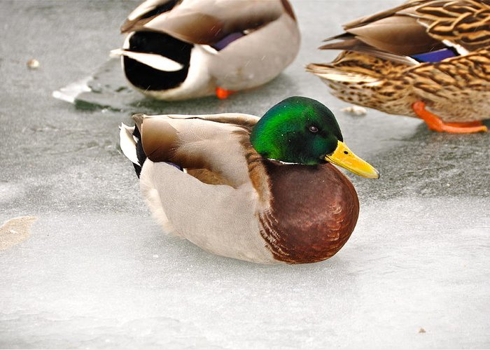 Duck Greeting Card featuring the photograph The Outcast by Catherine Renzini