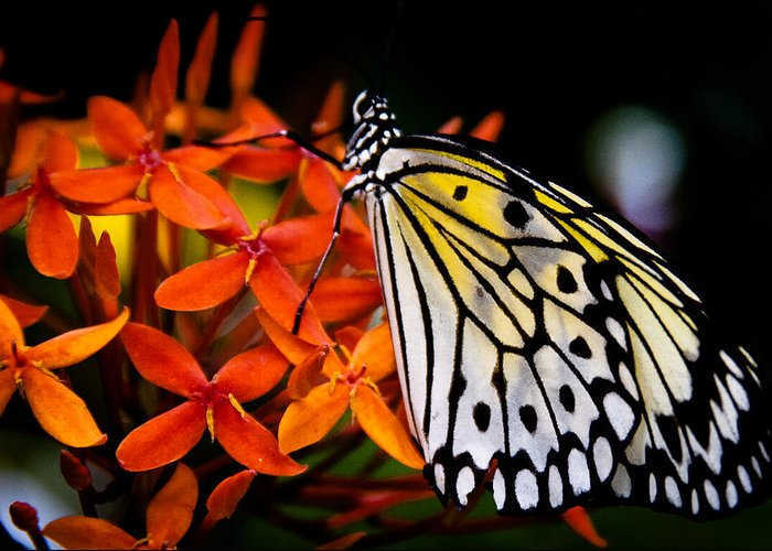 Butterfly Greeting Card featuring the photograph The Paper Kite Butterfly by David Patterson