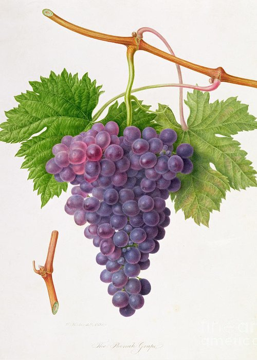 Bunch Of Grapes; Fruit; Branch; Black; Leaves; Botanical Illustration Greeting Card featuring the painting The Poonah Grape by William Hooker