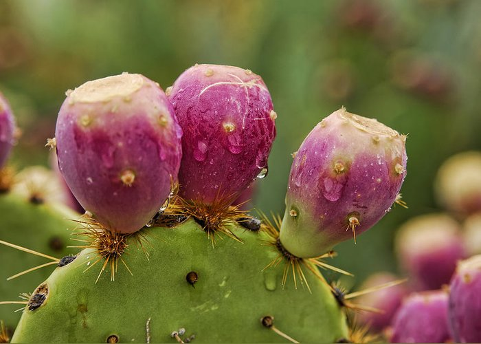 Prickly Pear Cactus Greeting Card featuring the photograph The Prickly Pear by Saija Lehtonen