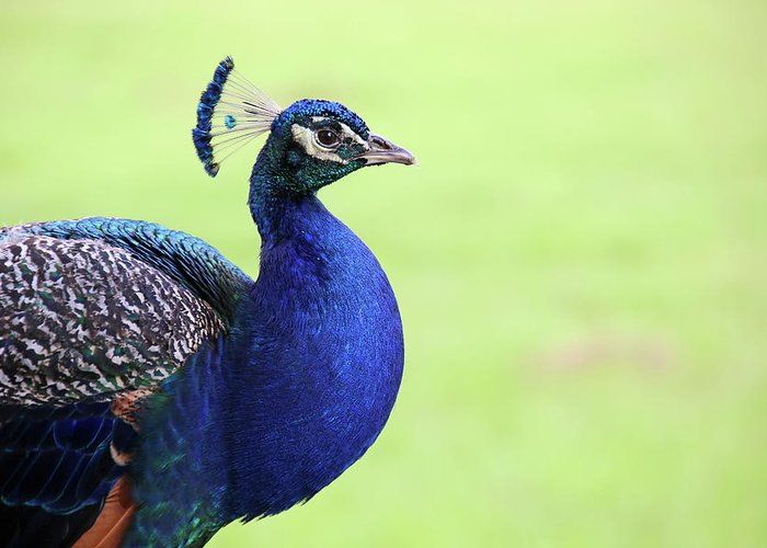 Indian Peafowl Greeting Card featuring the photograph The Profile Shot by Daniela Duncan