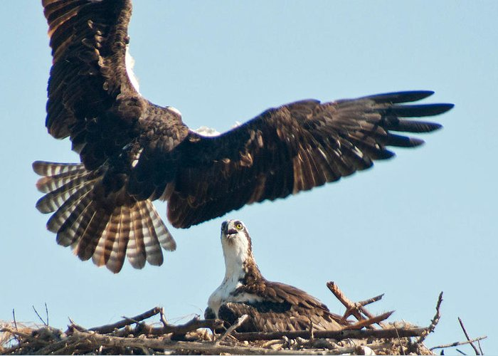 Osprey Greeting Card featuring the photograph The Return by Geraldine Alexander
