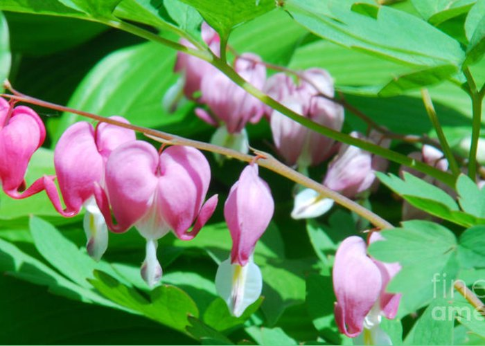 Bleeding Heart Flowers Greeting Card featuring the photograph The Romance Flower by Optical Playground By MP Ray