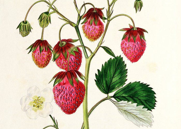 Strawberry Drawings Greeting Cards