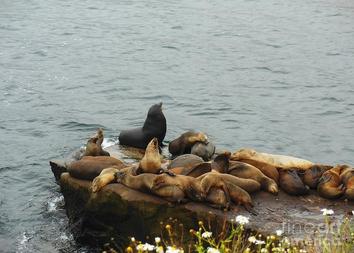 The Sea Lion And His Harem Greeting Card featuring the photograph The Sea Lion And His Harem by Mary Machare