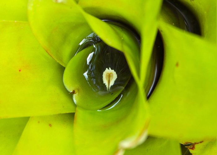 Bromeliad Greeting Card featuring the photograph The Secret World In A Bromeliad by Karon Melillo DeVega