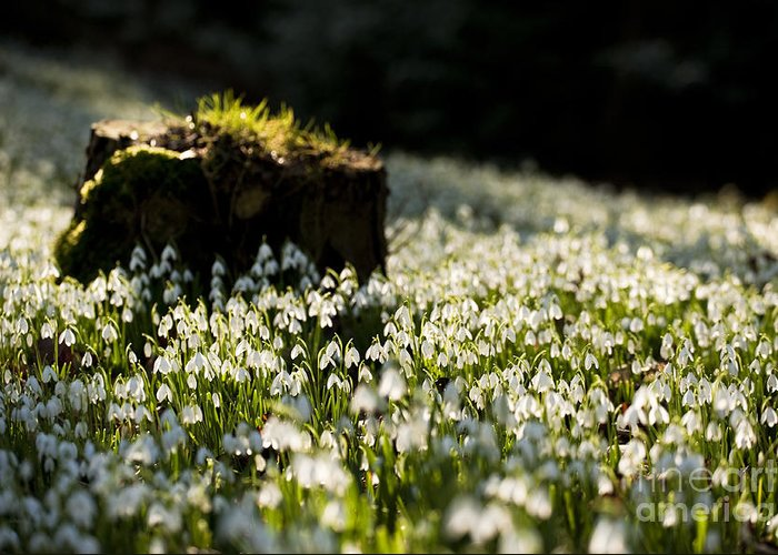 The Greeting Card featuring the photograph The Stump And The Snowdrops by Anne Gilbert