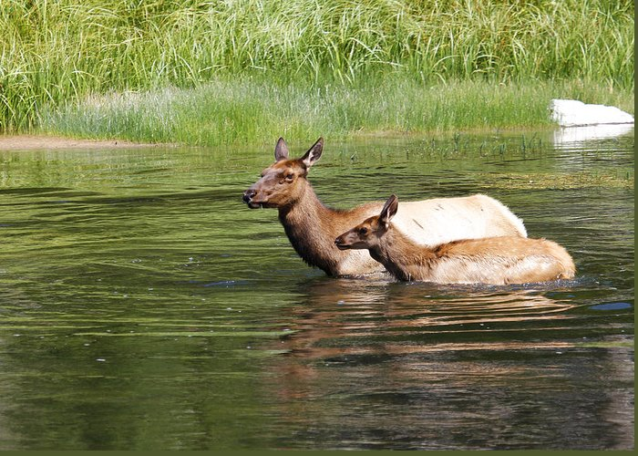 Cow Elk Greeting Card featuring the photograph The Swim by Steve McKinzie