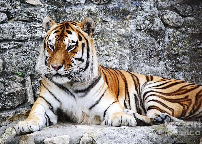 Tiger Greeting Card featuring the photograph The Tiger by Jelena Jovanovic