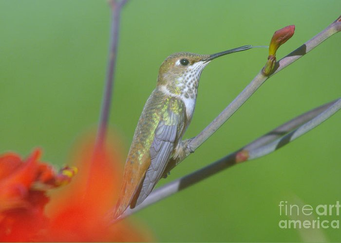 Tongue Greeting Card featuring the photograph The Tongue Of A Humming Bird by Jeff Swan