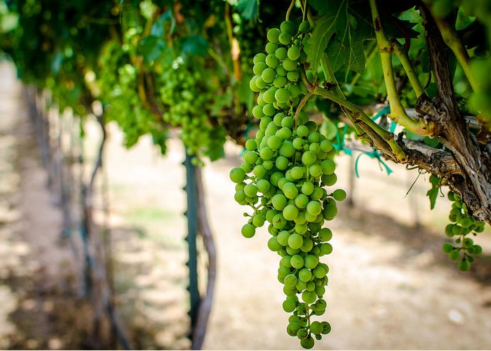 Grapes Greeting Card featuring the photograph The Vineyard by David Morefield
