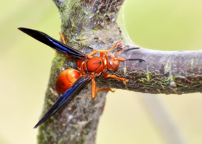 Red Wasp Greeting Card featuring the photograph The Wasp by Pam Garcia