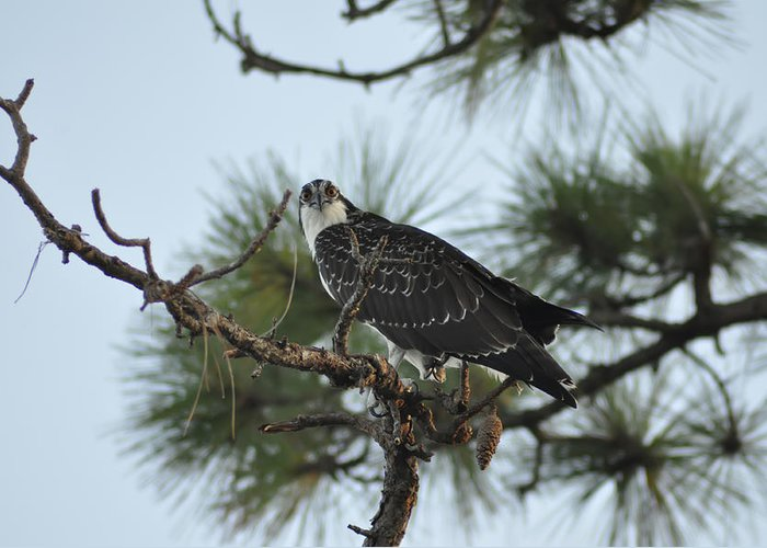 Wild Greeting Card featuring the photograph The Wild Osprey by Bill Cannon