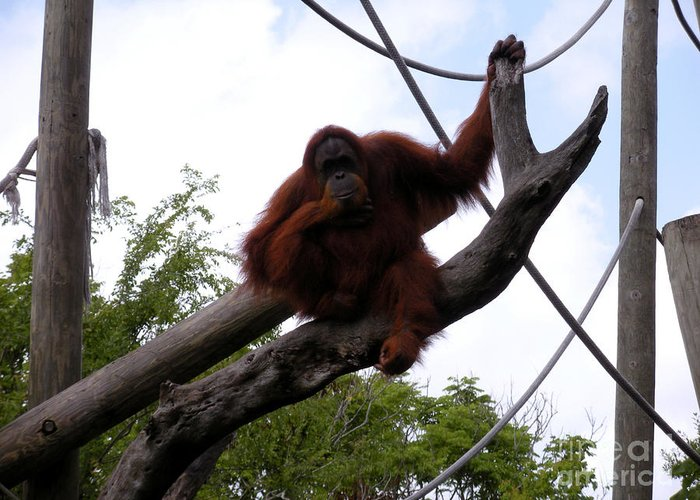 Orangutang Greeting Card featuring the photograph Thinking Of You by Joseph Baril