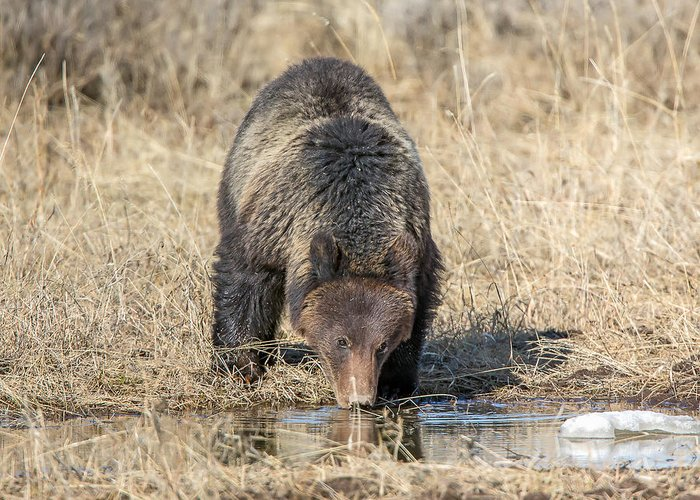 Griz Greeting Card featuring the photograph Thirsty Grizzly by Keith R Crowley