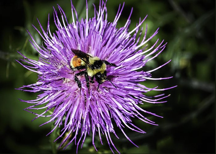 Arizona Greeting Card featuring the photograph Thistle And Bee by George Davidson