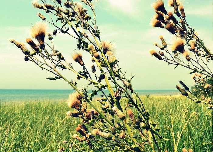 Horizon Greeting Card featuring the photograph Thistle On The Beach by Michelle Calkins