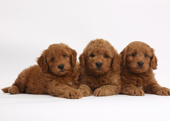 Three Cute Red F1b Goldendoodle Puppies Greeting Card