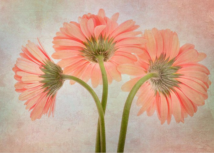 Flower Greeting Card featuring the photograph Three Daisies by David and Carol Kelly