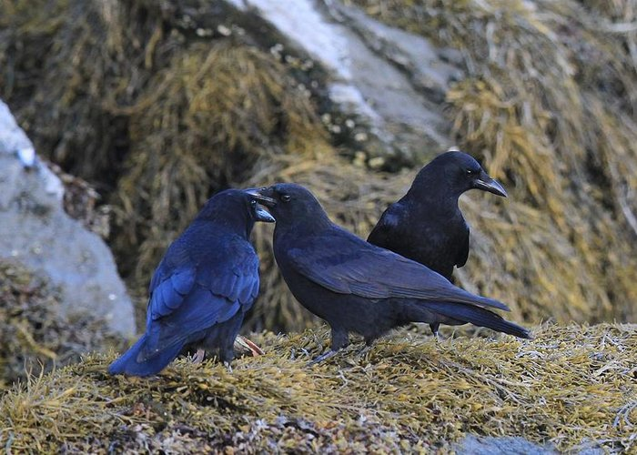Crows Greeting Card featuring the photograph Three Imps by Donald Cramer