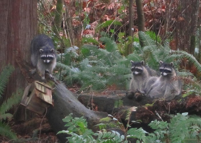 Racoons In The Woods Greeting Card featuring the photograph Three Is A Crowd by Kym Backland