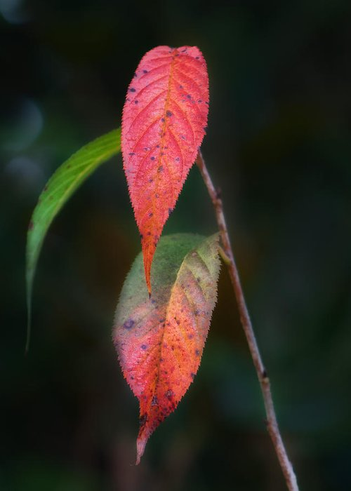 Leaves Greeting Card featuring the photograph Three Leaves Of Fall by Brenda Bryant