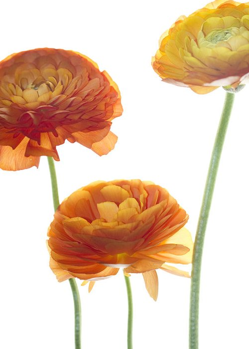 Ranunculus Greeting Card featuring the photograph Three Raunuculus by Rebecca Cozart