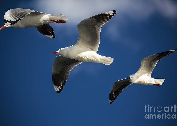 Silver Gulls Greeting Card featuring the photograph Three Silver Gulls In Flight by Avalon Fine Art Photography