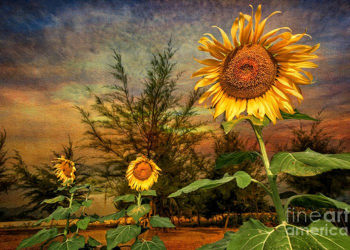 Sunflower Greeting Card featuring the photograph Three Sunflowers by Adrian Evans