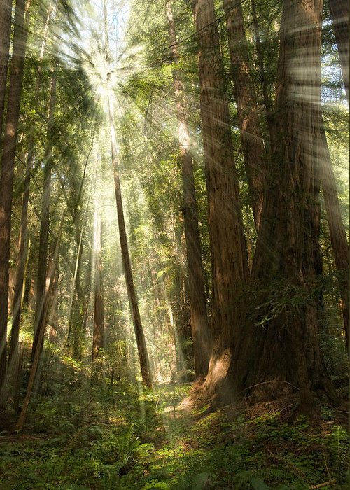 Muir Woods Greeting Card featuring the photograph Through The Trees by Mick Burkey