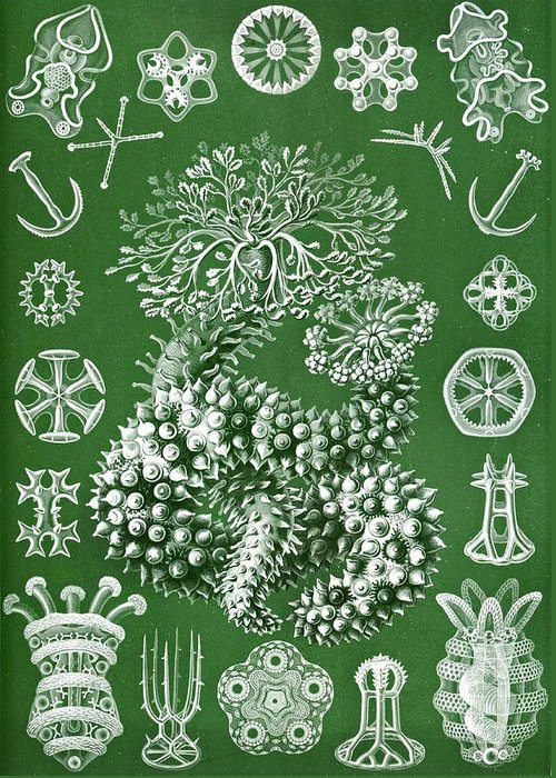 Echinoderms Greeting Card featuring the drawing Thuroidea From Kunstformen Der Natur by Ernst Haeckel