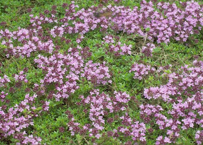 Thyme Greeting Card featuring the photograph Thyme (thymus Vulgaris) by Science Photo Library