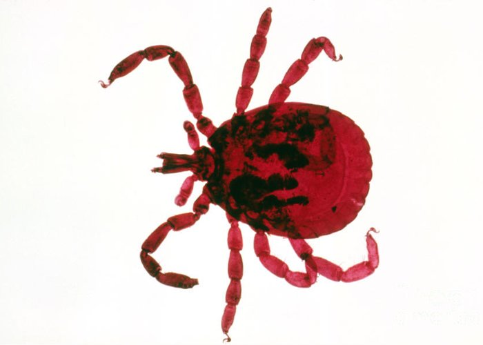 Animal Greeting Card featuring the photograph Tick by Perennou Nuridsany