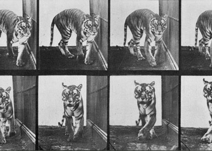 Tiger Photographs Greeting Cards
