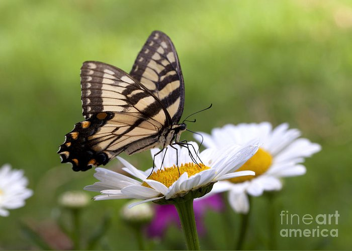 Eastern Greeting Card featuring the photograph Tiger Swallowtail by B Christopher