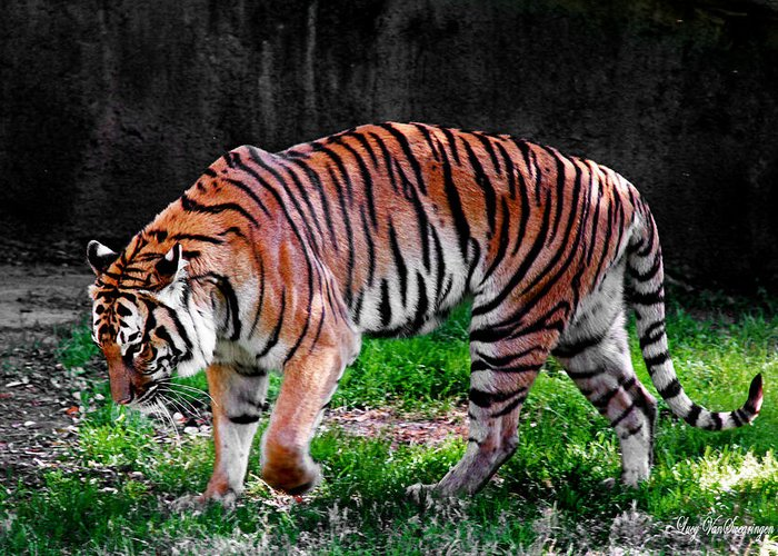 Vivid.big Cat Canvas Greeting Card featuring the photograph Tiger Tale by Lucy VanSwearingen