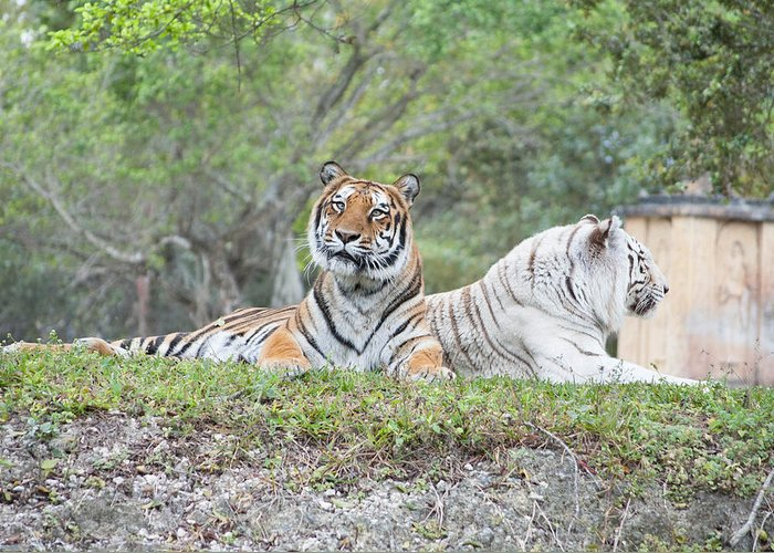 Bengal Tigers Greeting Card featuring the photograph Tiger Time by Mitchell Rudin