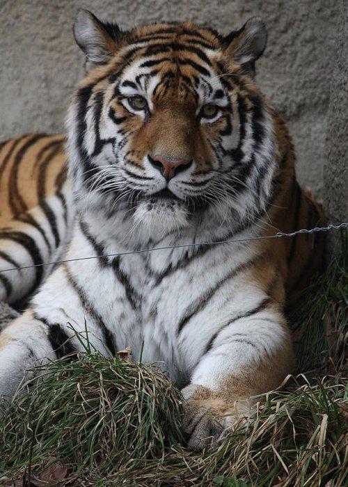 Tiger Greeting Card featuring the photograph Tiger Waits by Paula Thomas
