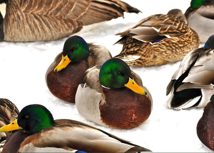 Ducks Greeting Card featuring the photograph Time Out by Catherine Renzini